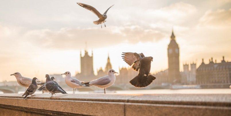 london-pidgeons