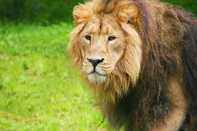 lion-1021673_640