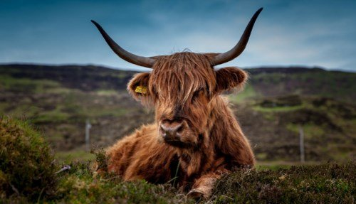 Highland Cattle 500 287
