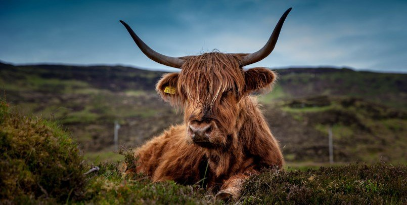 Highland Cattle 805 405